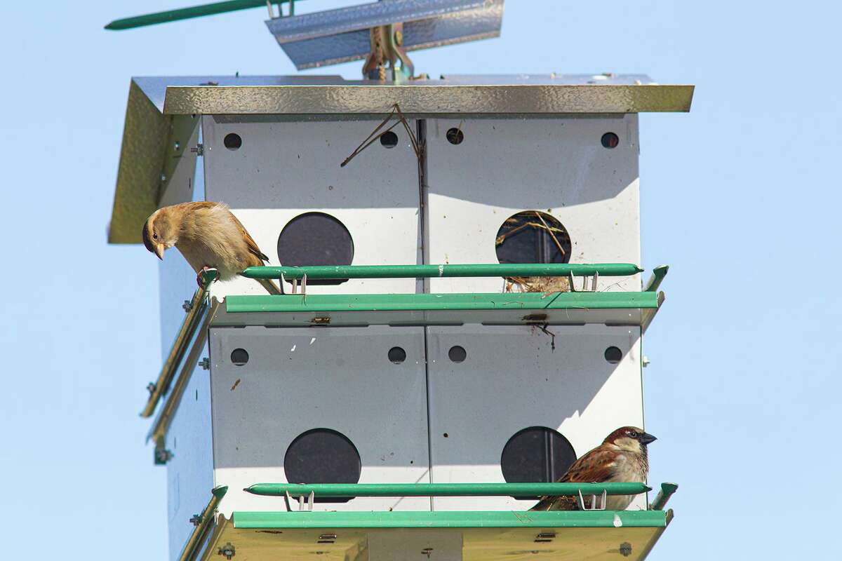 House sparrows are sociable and great parents, but they take over purple martin houses and bluebird nest boxes.