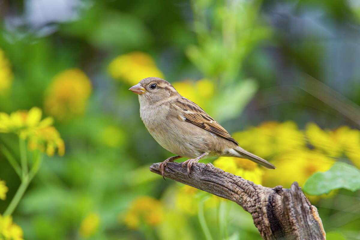 House sparrows are social and vigorous.