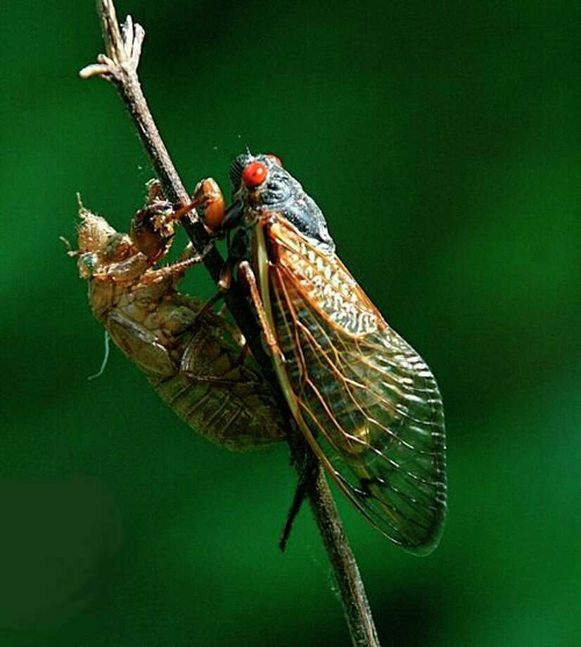An adult periodical cicada has a 13- or 17-year life cycle. (Courtesy photo/Chris Evans/University of Illinois/Bugwood.org)
