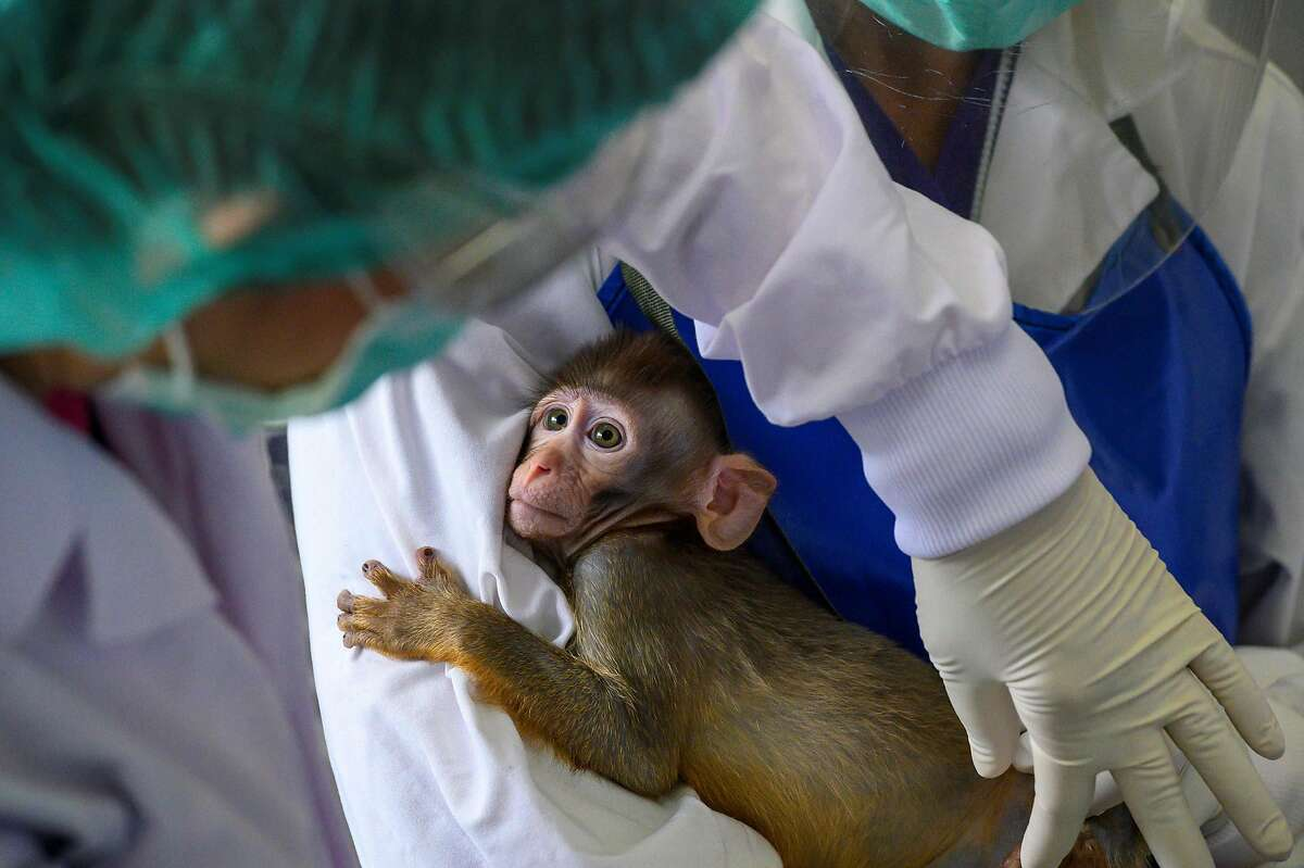 A laboratory baby monkey being examined May 23, 2020. MonkeysThere are currently four U.S.-made coronavirus vaccines in late-stage trials, meaning they are being tested on humans. Nonetheless, some researchers are saying they want to continue testing vaccine candidates on monkeys, in order to do comparisons. For example, Nancy Haigwood, who directs the Oregon National Primate Research Center, told Science Magazine that monkey-human comparison trials are necessary: