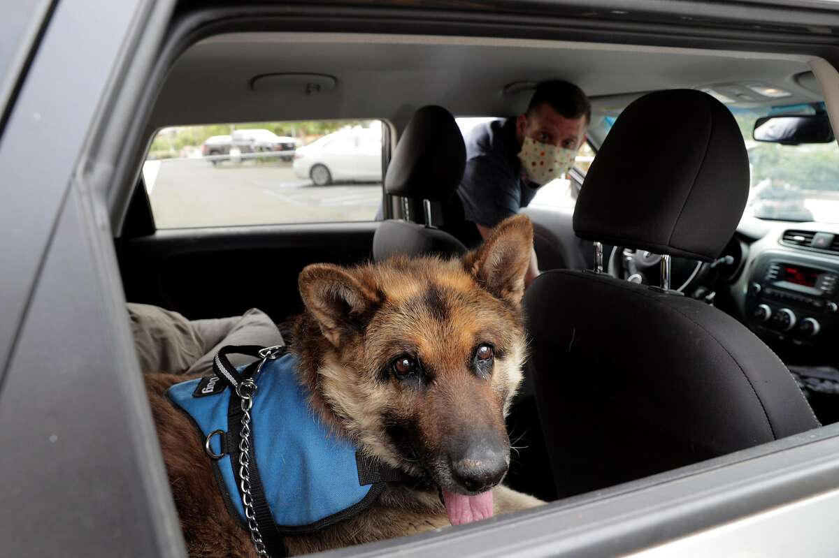 Jackson, an older german shephard looks out a window of James Eitel's car who is adopting jackson with his fiancee Renee Barr at the Milo Foundation in Richmond, Calif., on Sunday, May 31, 2020.