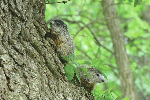 Baby groundhogs emerge from their home in the base of an old oak tree.