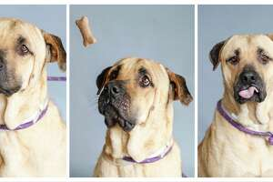 Willie (A1690175) is a 5-year-old, male, Labrador/Black Mouth Cur mix available for adoption from BARC Animal Shelter, Tuesday, June 2, 2020, in Houston. Willie came into the shelter in mid-April, after a BARC staff member found him in bad shape. He was very under weight, had an eye infection, and a skin condition. Despite his condition, his personality and determination made him an instant staff favorite. He showed he wanted all the love and attention lavished on him, and as a result, he blossomed and got healthier. While under the TLC at the shelter he has also learned how to sit and walk nicely on a leash. He is now a healthy happy gentleman, looking for a safe and forever home.