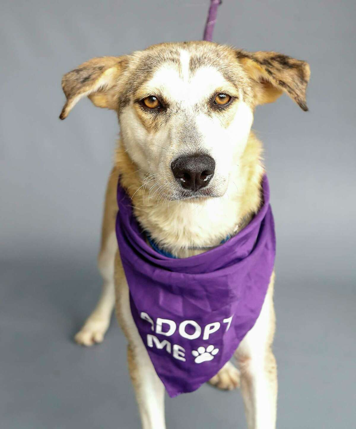 Candy (A1694228) is a 2-year-old, female, husky/Labrador mix who first came to the shelter as an