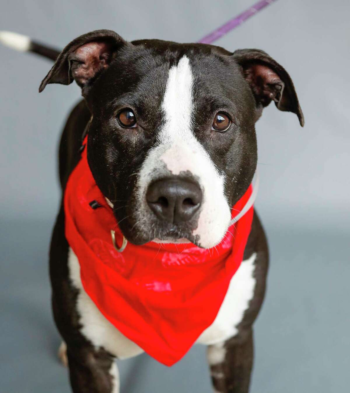 Re Peete (A1585913) is a 2-year-old, male, Staffordshire mix who is another staff favorite at BARC. He was rescued along with 21 other dogs that were found living at a single home that officials describe as a hoarding situation. According to shelter officials, he loves playing with dogs of all sizes and