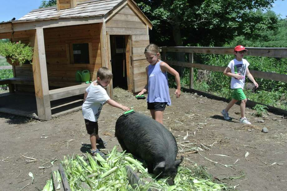 Petting the pigs and interacting with the other animals is a favorite part of summer camp at Ambler Farm. The farm announced there will be no camp this year, due to the COVID-19 pandemic. Photo: Jeannette Ross / Hearst Connecticut Media / Wilton Bulletin
