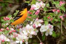 Baltimore orioles are a unique and beautiful part of summer. (Photo by MylesWillard)