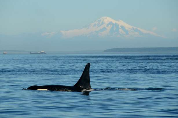 Pacific Northwest orca with Mount Baker in the background near the Strait of Georgia off the coast of Vancouver, British Columbia