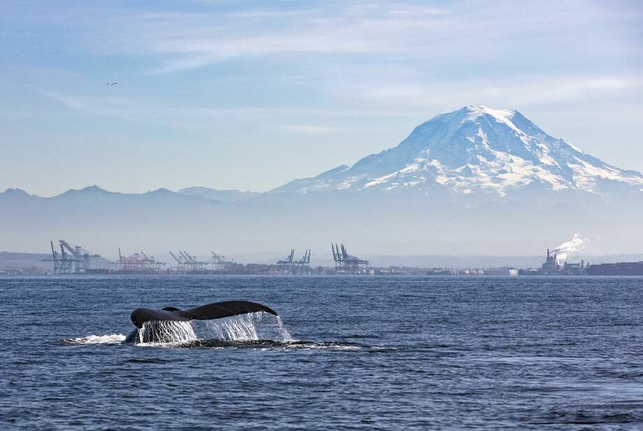 A humpback whale tail before a deep feeding dive with the Port of Tacoma and Mount Rainier in the background Photo: Copyright Byron M. O'Neal/Getty Images / Copyright 2019 © Byron M ONeal