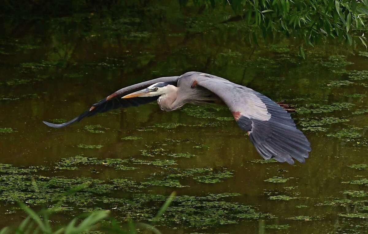A Great Blue Heron is seen in flight over water near the Mohawk River on Wednesday, June 3, 2020 in Niskayuna, N.Y. (Lori Van Buren/Times Union)