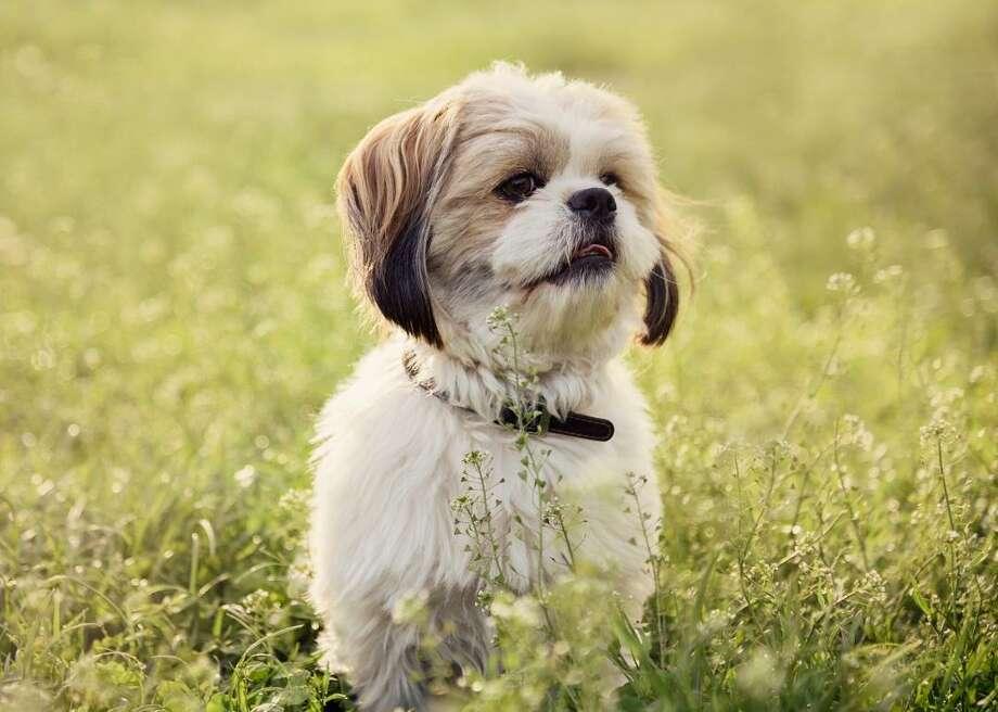 Tiniest dog breeds - Manistee News Advocate