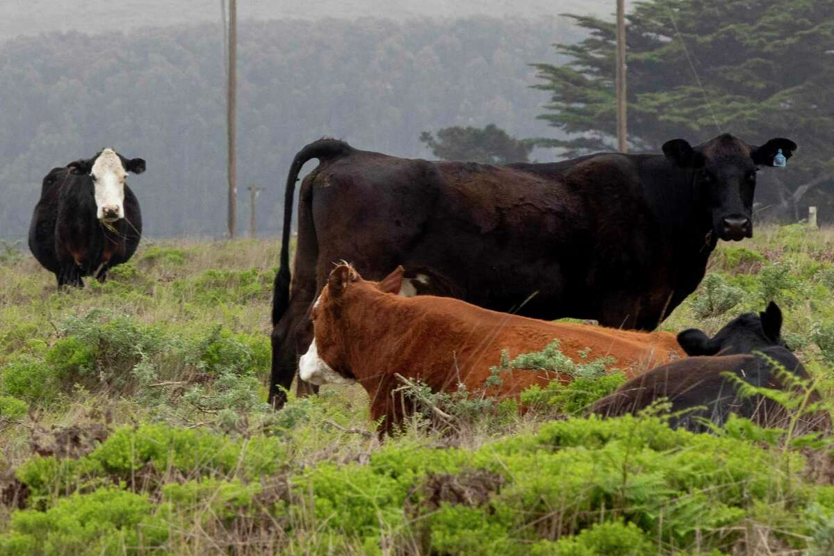 Marin Sun Farms cows graze in a pasture near Inverness, Calif., April 29, 2020. Many meat processing plants in the midwest have had to close due to outbreaks of the virus among workers, and now President Trump has ordered that meat plants remain open. But smaller, artisanal meat producers like Marin Sun Farms are in much better shape, with an intact supply chain that can still get meat to local customers.