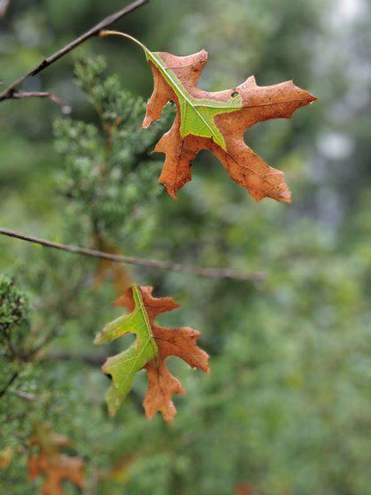 Oak leaves turn brown when the tree is infected with the oak wilt fungus.