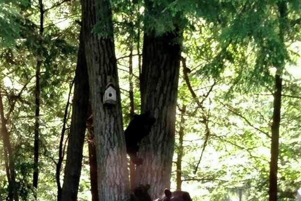 Big Rapids resident Kim Mudrak and her husband, Tim, awoke Monday morning to some unexpected guests -- a black bear and her two cubs. According to Mudrak, this is only the couple's second time seeing a black bear in the area. (Courtesy photo)