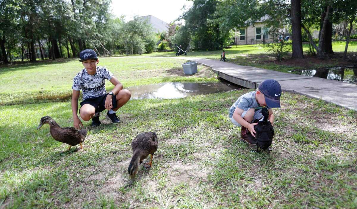 Caydence Robinson, 13, left, and Henry Sokol, 3, play with ducks raised by his dad, Adam Sokol, a Cypress resident, at The Park at Arbordale pond, in Cypress, Friday, May 29, 2020. Sokol started raising ducklings just a few weeks into the pandemic, so that the pond could have some more ducks in it when they are fully grown. As a community engagement opportunity, they've been holding a little 'social hour' for the ducklings to meet children in the neighborhood, which has helped parents to get their kids entertained for a little while during the week. They used to just do it randomly, and now they're doing it for the next three weeks for the ducklings to meet their 'fans' as they've been calling them, before the ducks get released into the pond.