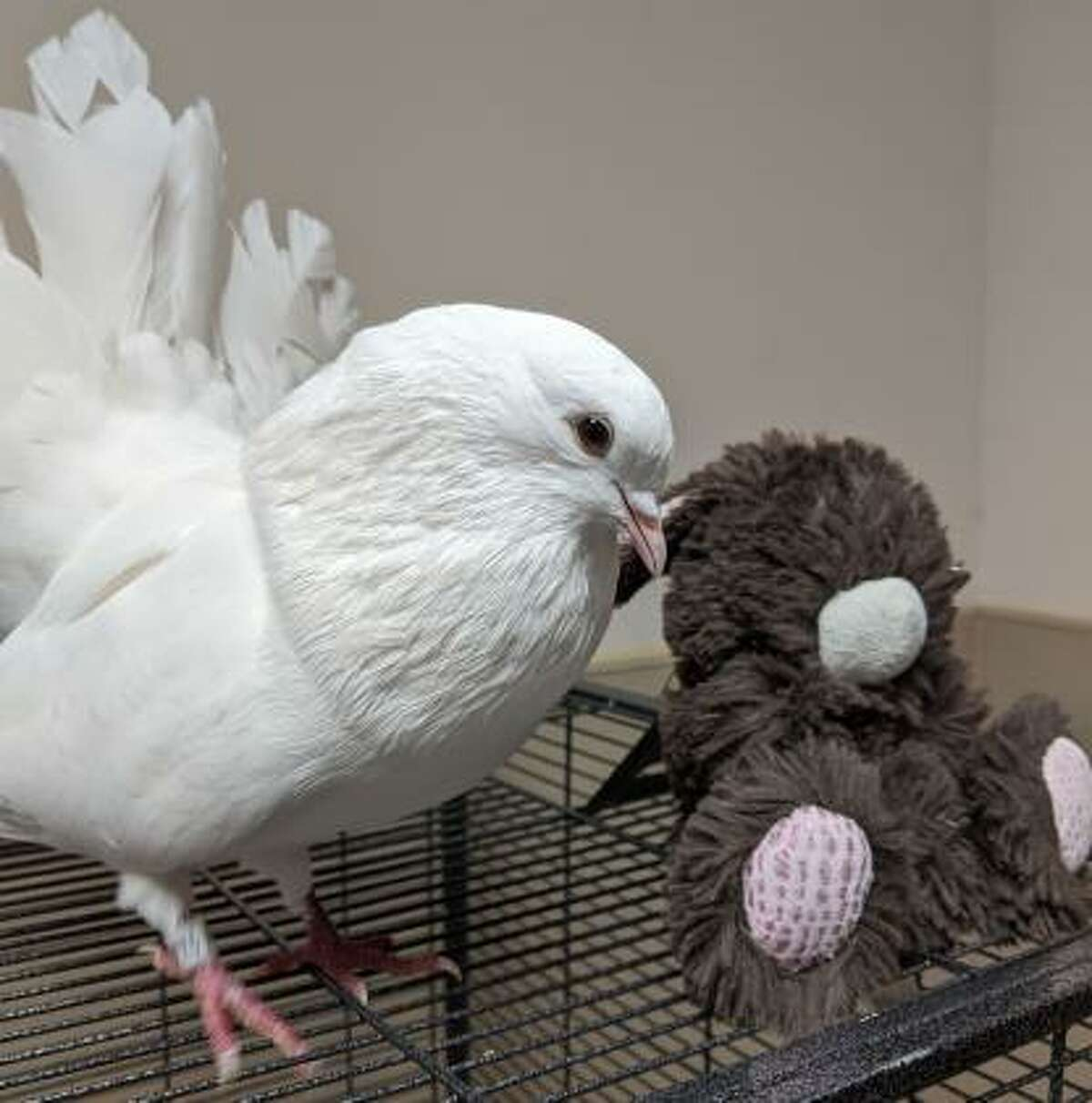 This is Echo, a white domesticated pigeon, who is seen here with his best friend, a stuffed animal. They must go home together! Echo is easy to handle and is trained to step onto your hand. He is cooing quietly while waiting for his new family to adopt him.   Remember, the Connecticut Humane Society has no time limits for adoption. o learn more about operations during COVID-19, go to https://cthumane.org/adopt/adoption-process/. Applications for adoption can be obtained at https://cthumane.org/adopt/all-adoptable-pets/.