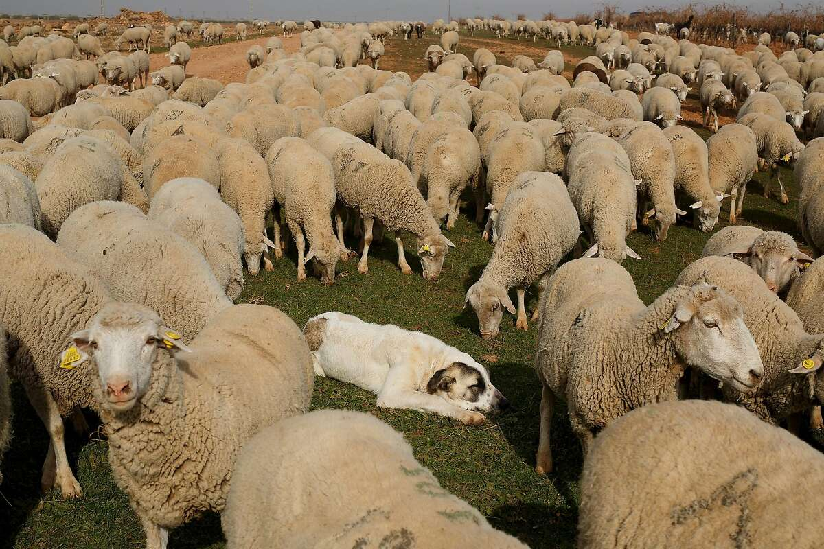 CIUDAD REAL, SPAIN - NOVEMBER 20: A mastiff dog lays on the ground as the sheep herd walks along the Canada Real Conquense o de los Serranos on November 20, 2015 near Socuellamos, in Ciudad Real province, Spain. The herders' families carry out their Autu