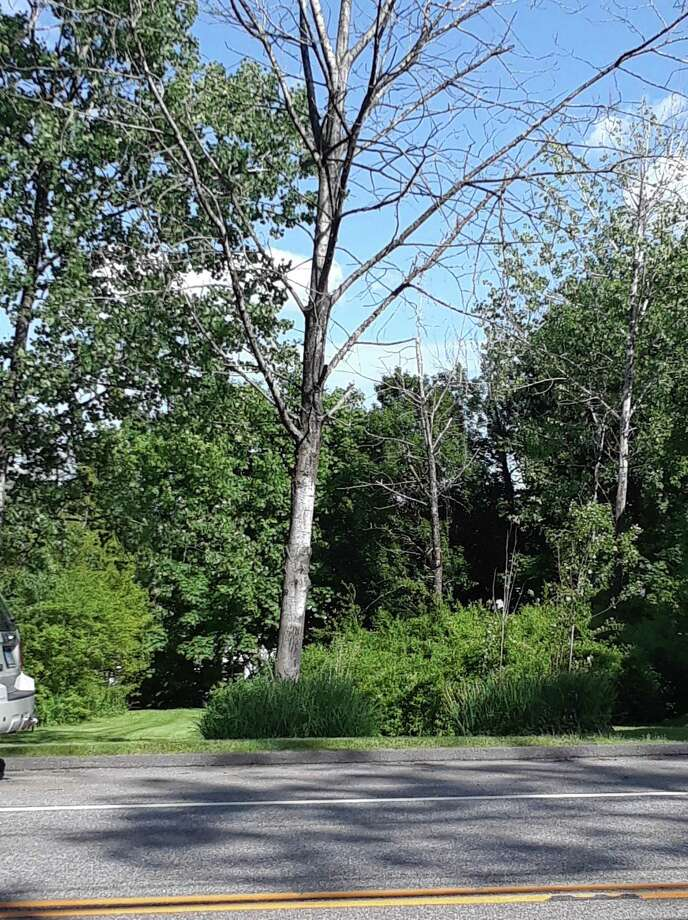 Trees affected by the Emerald Ash Borer in Litchfield, if they are in a town right-of-way, will soon be removed by the public works department. Residents will be told when the tree work will be done. Photo: Emily M. Olson / Hearst Connecticut Media