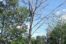 Trees affected by the Emerald Ash Borer in Litchfield, if they are in a town right-of-way, will soon be removed by the public works department. Residents will be told when the tree work will be done.