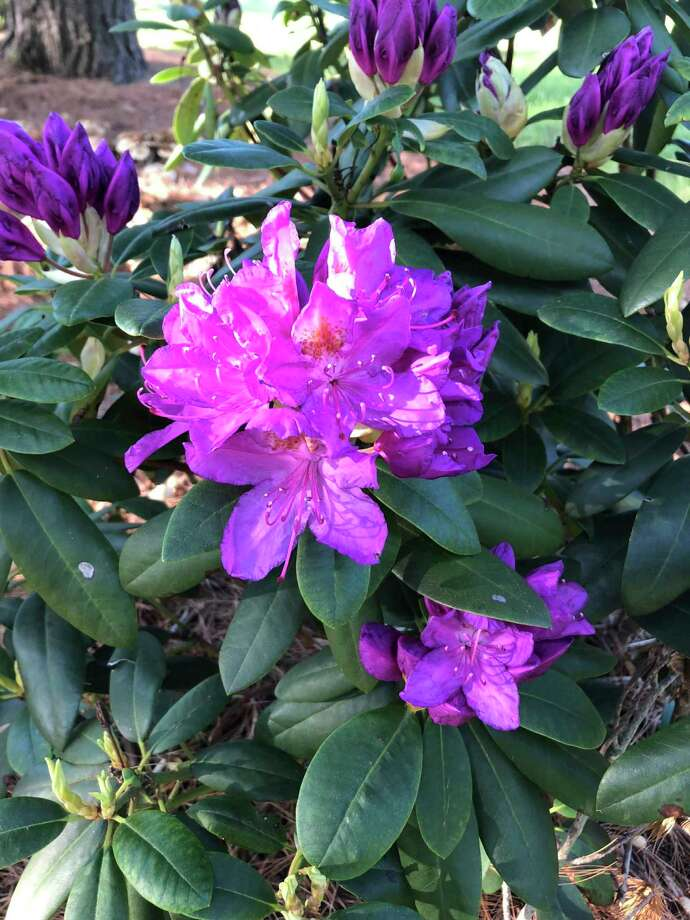 The first thing to understand about rhododendron is they have a small compact root system that will not compete with the large fibrous roots of many of our shade trees. (Photo provided/Chuck Martin)