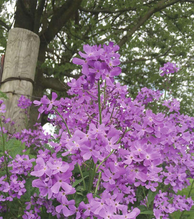 A wildflower known as purple rocket blooms. Joy Harris