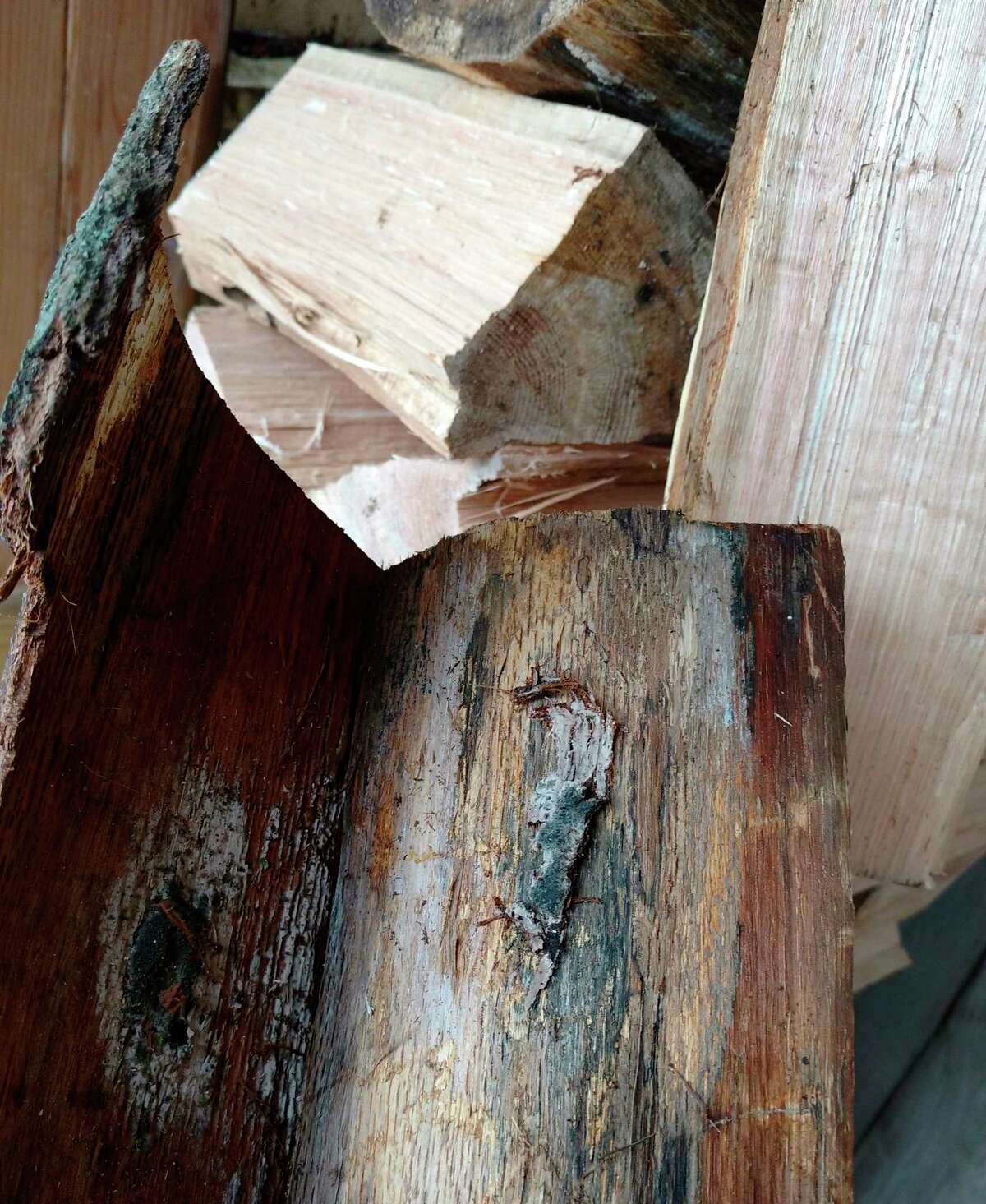 Oak wilt fungus, found under the bark of infested trees, can spread oak wilt to new locations through firewood movement. (Courtesy photo)