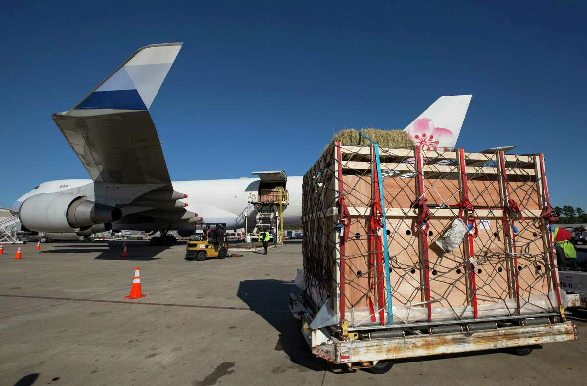 A transport crate carrying Brahman bulls is loaded into the Boeing 747 plane that will export them to Vietnam at George Bush Intercontinental Airport in 2017. Jobs rely on these types of exports, but global protectionism threatens employment and trade in Texas.
