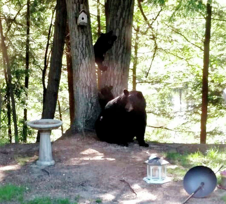 Big Rapids resident Kim Mudrak and her husband, Tim, awoke Monday morning to some unexpected guests — a black bear and her two cubs. According to Mudrak, this is only the couple's second time seeing a black bear in the area. Photo: Courtesy Photo