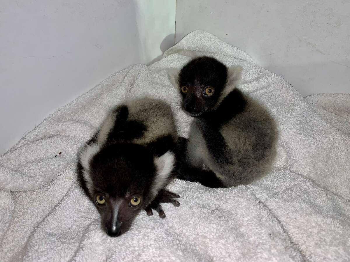 Black-and-white Ruffed Lemur twins