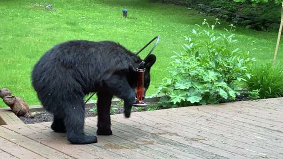 Seth Low Mountain Road resident Vittoria Quane spotted this bear in her backyard drinking from her hummingbird feeder on Tuesday, June 2 around 7 p.m. Other neighbors noticed the bear in the area as well. Photo: Vittoria Quane