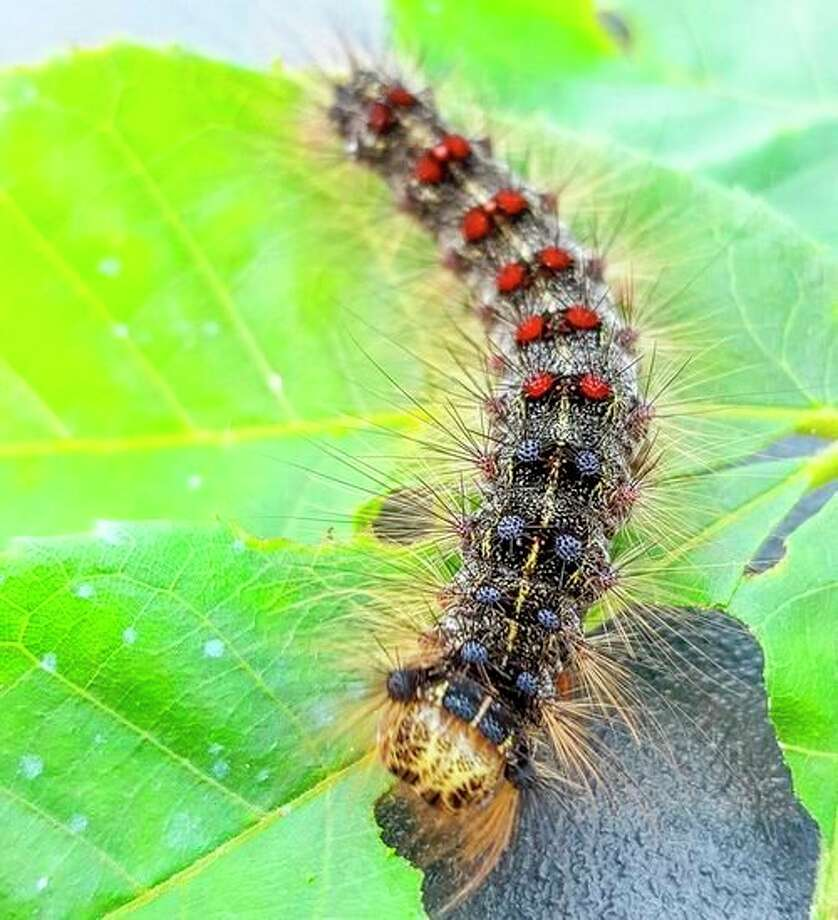 Gypsy moth caterpillars feed on the leaves of oaks, aspen, crabapple and 300 other species trees from late May to early or mid-July. (Courtesy photo/Karla Salp/Washington State Department of Agriculture/Bugwood.org)
