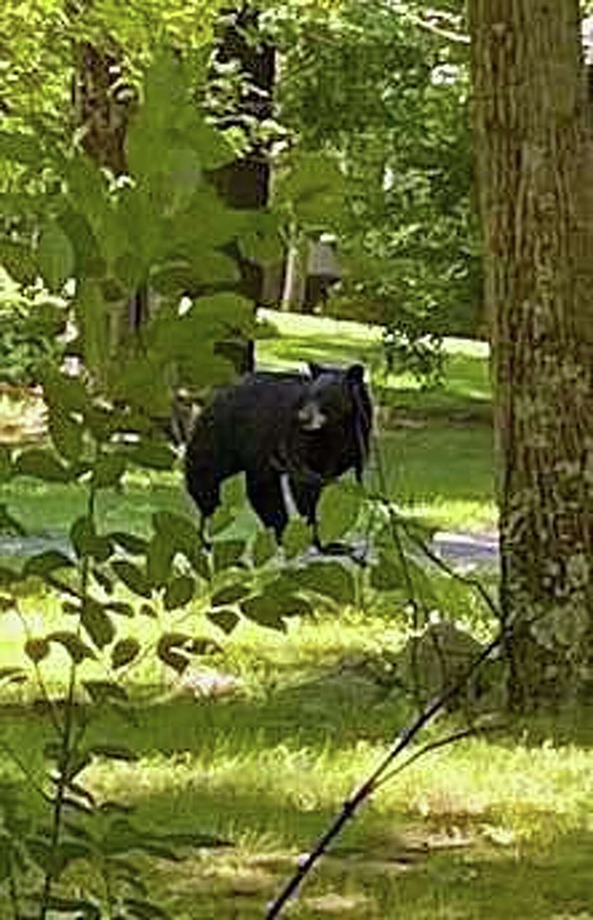 Stamford police are again reminding residents to be on the lookout for bears in the city after two recent sightings on Sunday, June 8, 2020.