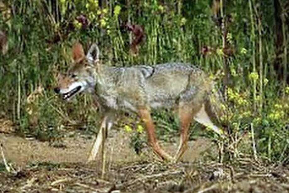 A woman was bitten by a coyote in Waveny Park at around 6:30 a.m., on Thursday, June 11, 2020. Photo: New Canaan Police Instagram Account