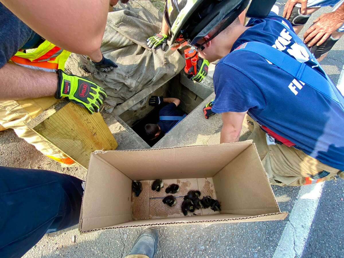 Firefighters rescue ducklings from a storm drain on Federal Road in Brookfield, Conn., June 10, 2020.