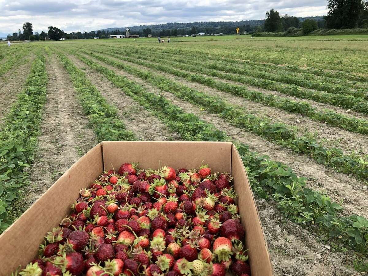 Bolles Organic Berry Farm: Monroe - 45 minutes northeast of downtown Seattle Open 11 a.m.-5 p.m. for strawberry picking. Check their Facebook page for daily updates regarding days they will be open for berry picking.