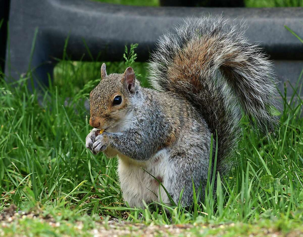 A squirrel is seen eating birdseed on Thursday June 11, 2020 in Albany, N.Y. The New York Humane Association is asking a Germantown sports club to end its annual squirrel hunt scheduled this year for Feb. 27, 2021. (Lori Van Buren/Times Union)