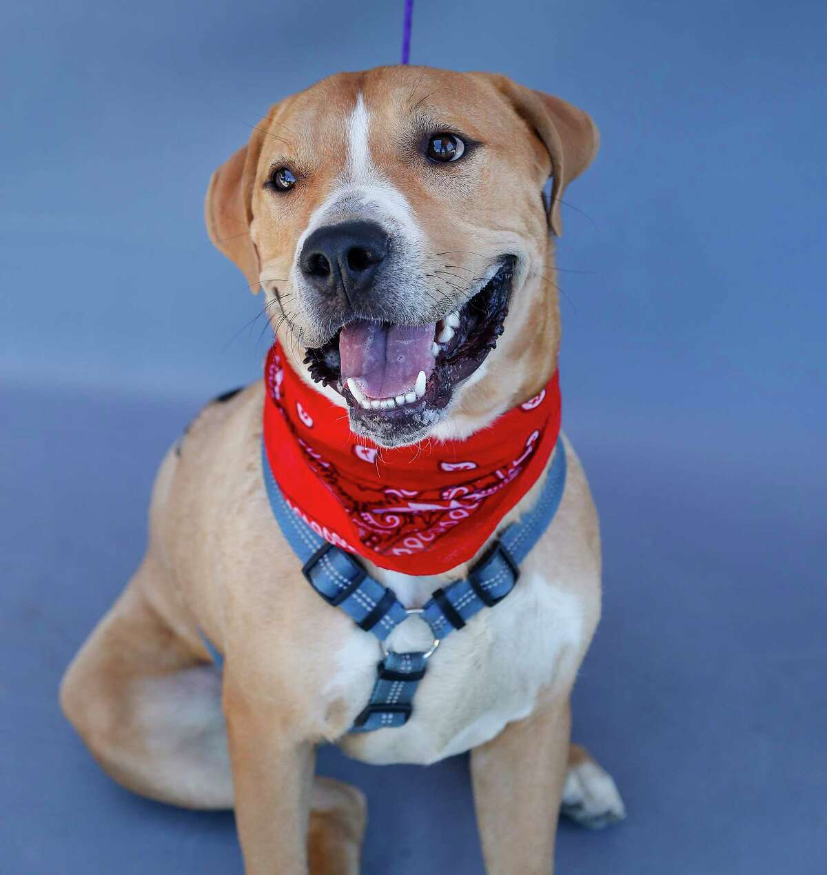 Cinnamon (A556207) is a 2-year-old, male, Labrador/Pit Bull mix who was turned in as a stray on June 9. The 73-pound boy knows his manners and can sit, speak and shake hands and enjoys treats as a reward. Cinnamon's heart is as big as his bark, and he loves the company of people.