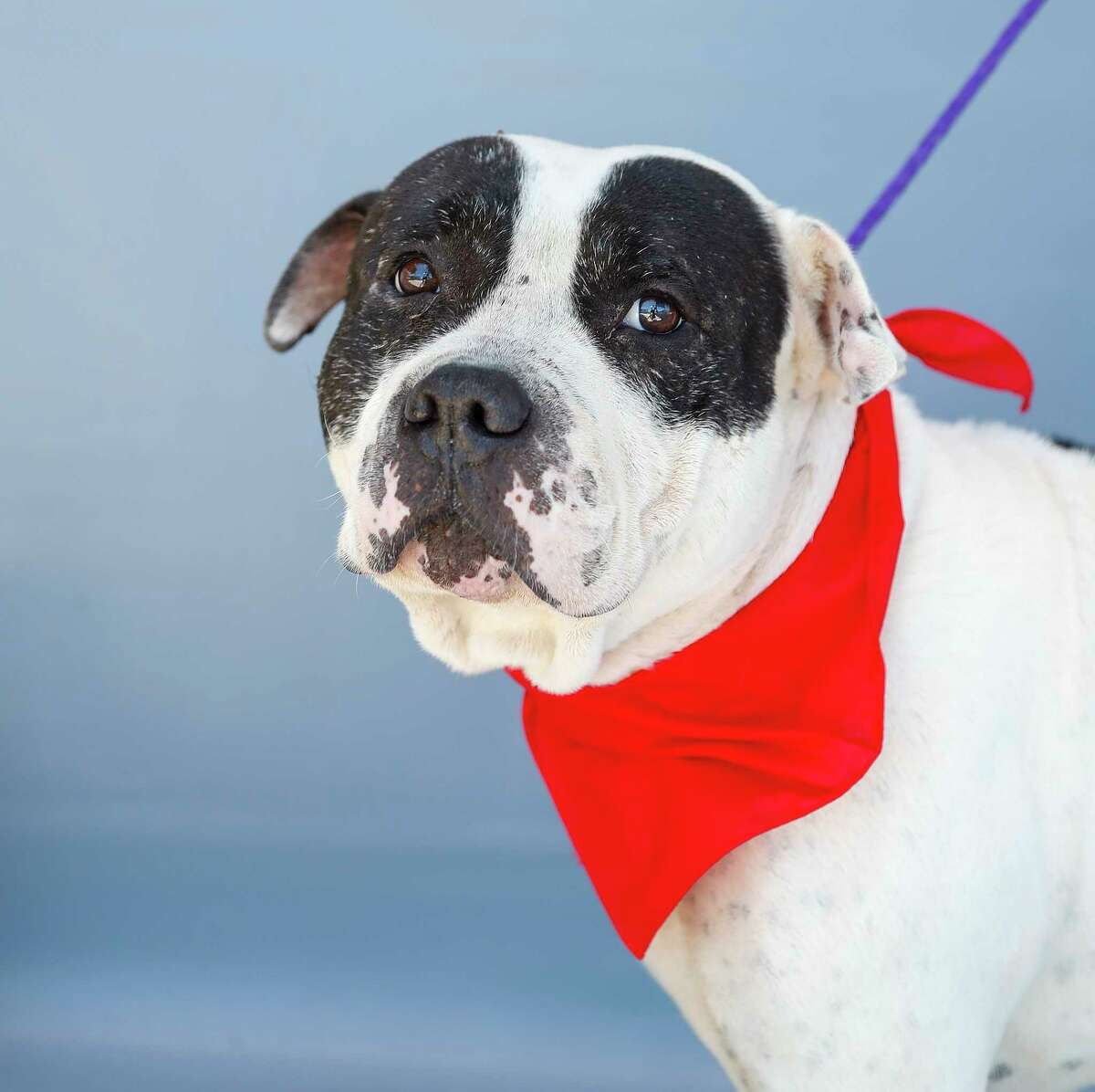 Dwayne (A555810) is a 4-year-old, male, American Pit Bull mix available for adoption from Harris County Pets, Thursday, June 11, 2020, in Houston.