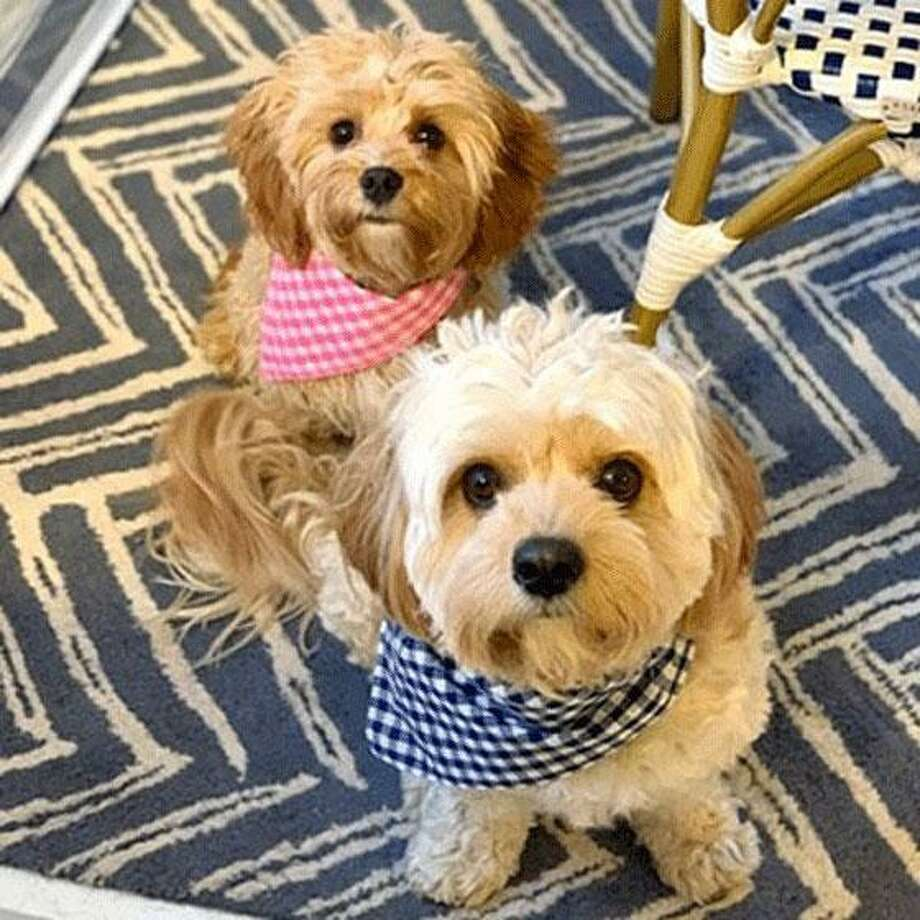 Siblings Lily and Cody, owned by Christen Ryan of Norwalk, were winners in the Mutt Strut & Friends Virtual contest held by the Norwalk River Valley Trail. Photo: Contributed Photo