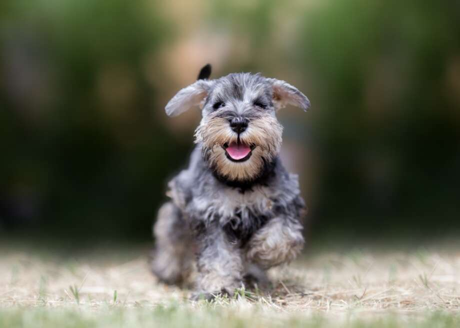 """Most popular dog breeds that don't shed Dogs are called """"man's best friend"""" for a reason: They love unconditionally, guard the house, force us outside, and are great additions to an Instagram feed. But even the cutest pups can lead to sneezing fits, runny noses, or worse. Between 10% and 20% of the world's population is allergic to dogs and cats. And for those with asthma, the prevalence of dog allergies is even higher. Dog ownership shows no signs of slowing, however. As of 2016, three-quarters of people in their 30s and 71% of men between 18 and 34 owned a pup. So, what can those with dog allergies do? While no dog is 100% hypoallergenic, there are breeds with nonshedding coats that produce much less pet dander—one common trigger for allergy sufferers. But, it's important to note that people with dog allergies are just as allergic to each breed. For the sniffler in your family, Stacker compiled a list of the 26 most popular dog breeds that don't shed based on 2020 data from the American Kennel Club (AKC). The data was compiled from AKC's Hypoallergenic Dogs list; those that don't have a ranking are either not registered with the AKC, or they are newly registered this year. These pups have luscious locks and voluminous curls, long beards and dramatic bangs. They do need to be groomed, but they won't get fur all over your furniture. And they're woofing cute! Photo: Canva"""