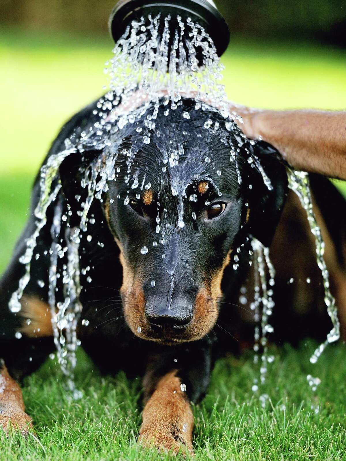 A pet is sprayed with water during a heat wave.