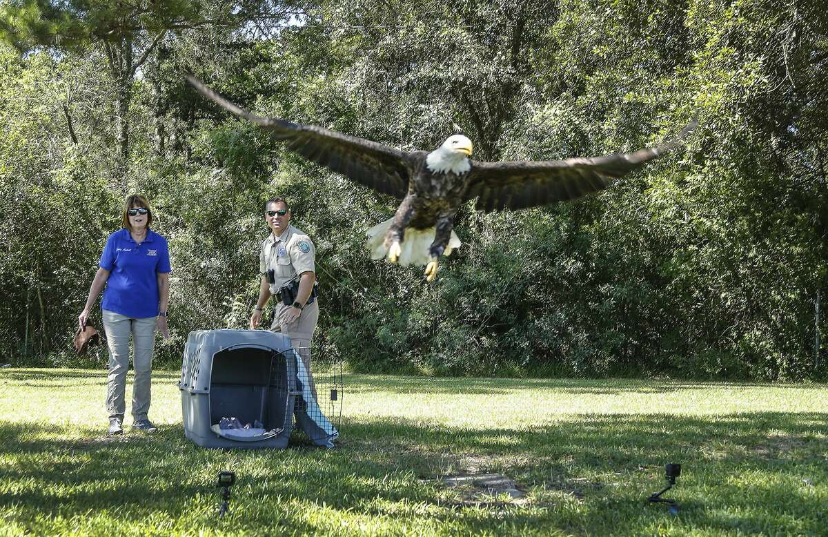 Game Warden Dustin Dockery and Houston SPCA's Wildlife Center of Texas' Debbie Mitchell release a female bald eagle back into the wild, Friday, June 12, 2020, in Baytown.
