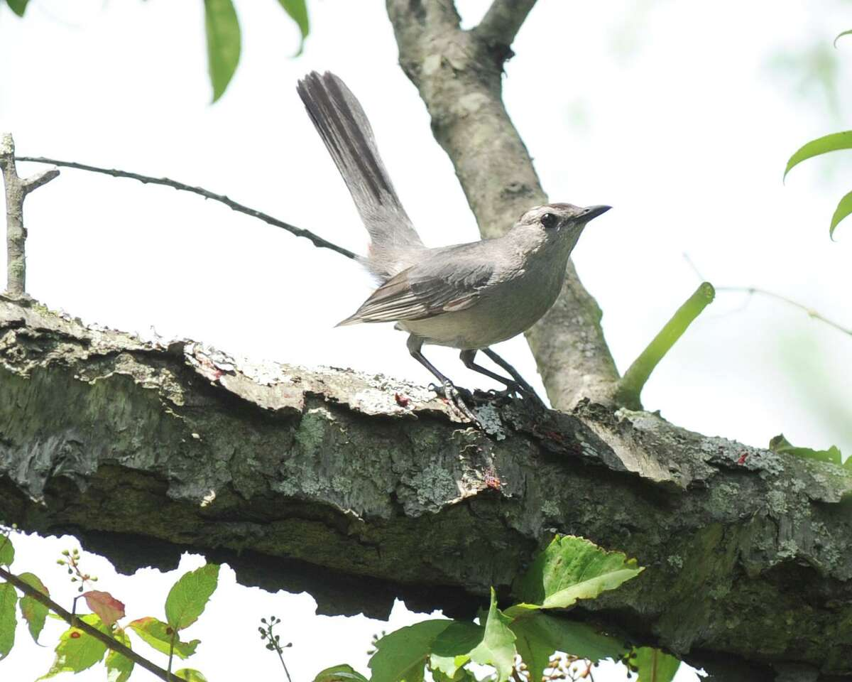 A catbird in a tree at Greenwich Point.