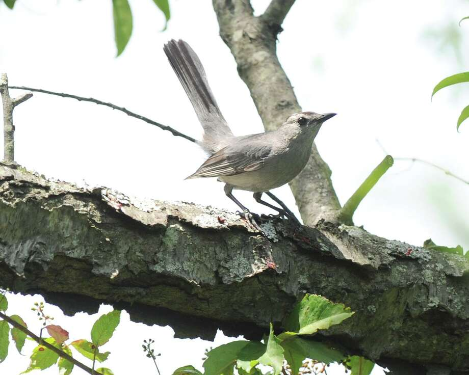A catbird in a tree at Greenwich Point. Photo: Hearst Connecticut Media / Greenwich Time