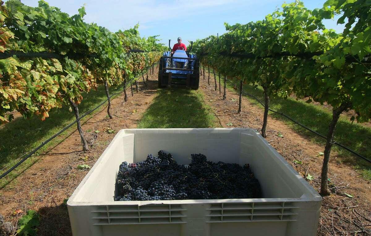 Grape harvesting at Kuhlken Vineyards near Fredericksberg.
