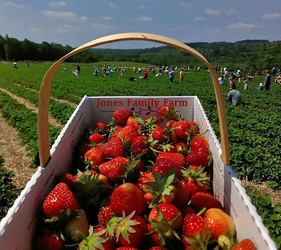 Strawberry picking - with a social distancing twist - is back at Jones Family Farms. The farm is taking online reservations for the picking now. Photo: Contributed Photo / Connecticut Post