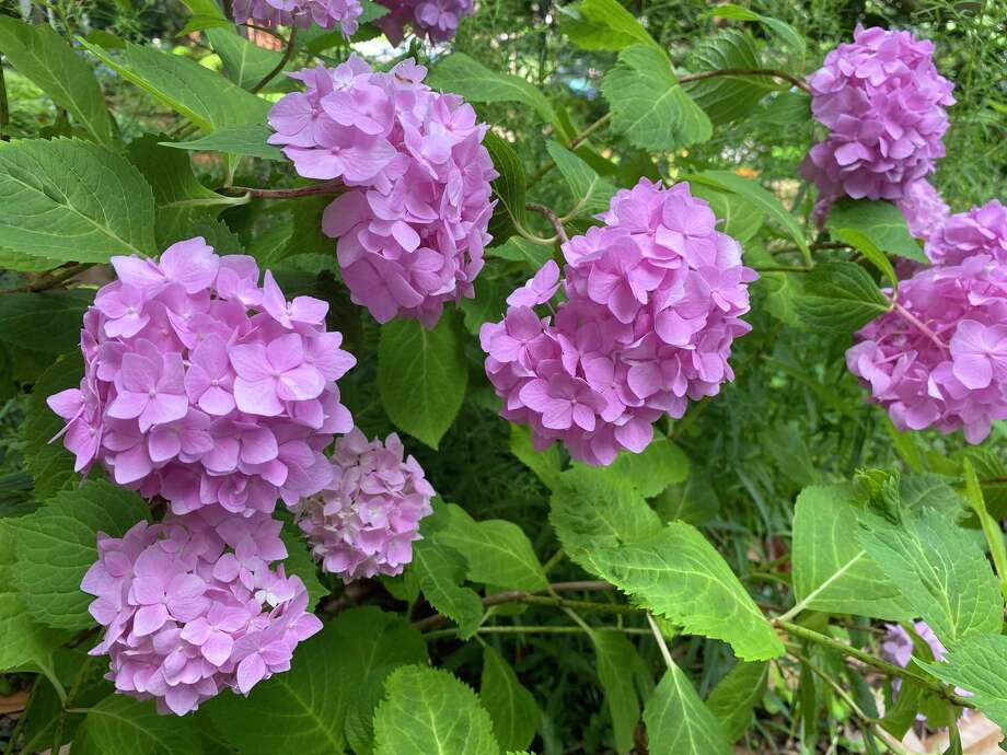 The mophead hydrangea signals a transition to a more challenging moment in the garden's year. Photo: Washington Post Photo By Adrian Higgins / The Washington Post