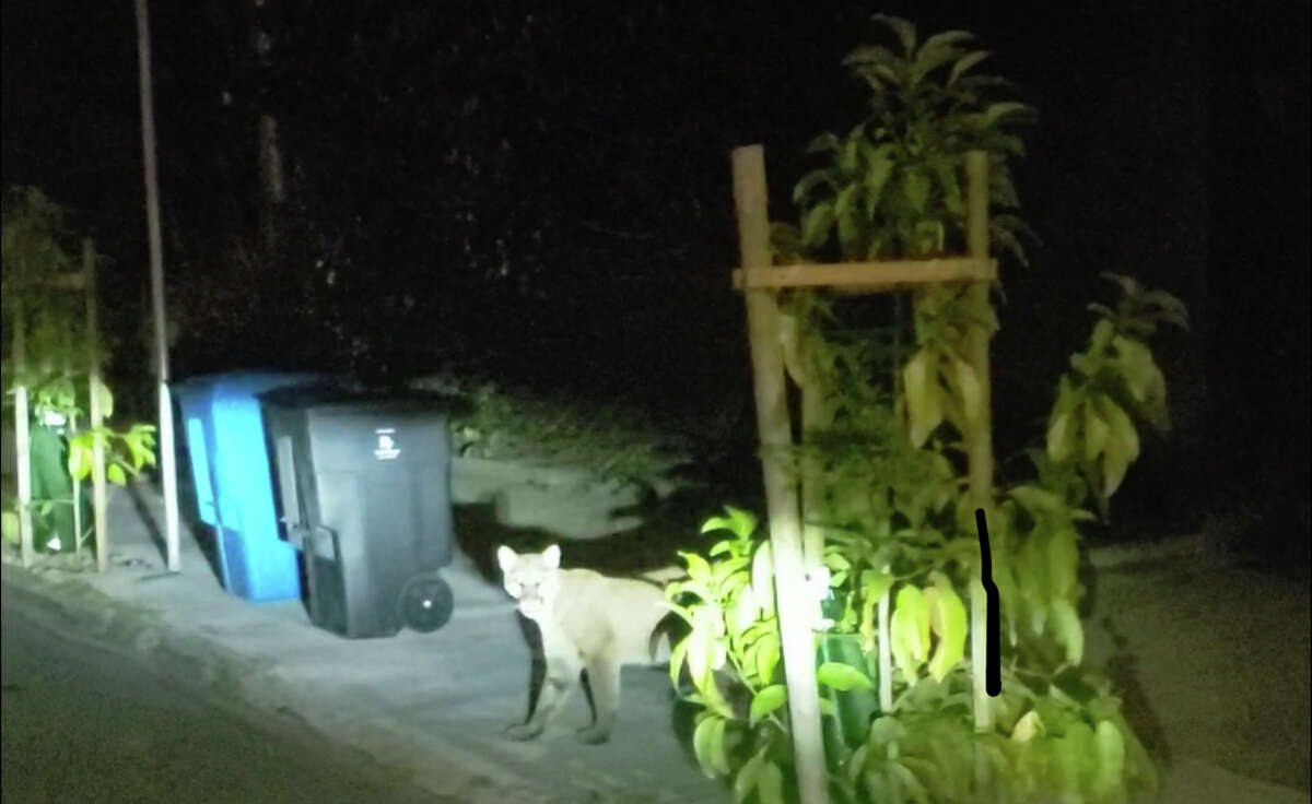In a video shared by San Francisco resident Luis Fernando, a mountain lion could be seen wandering around Russian Hill early Tuesday morning.