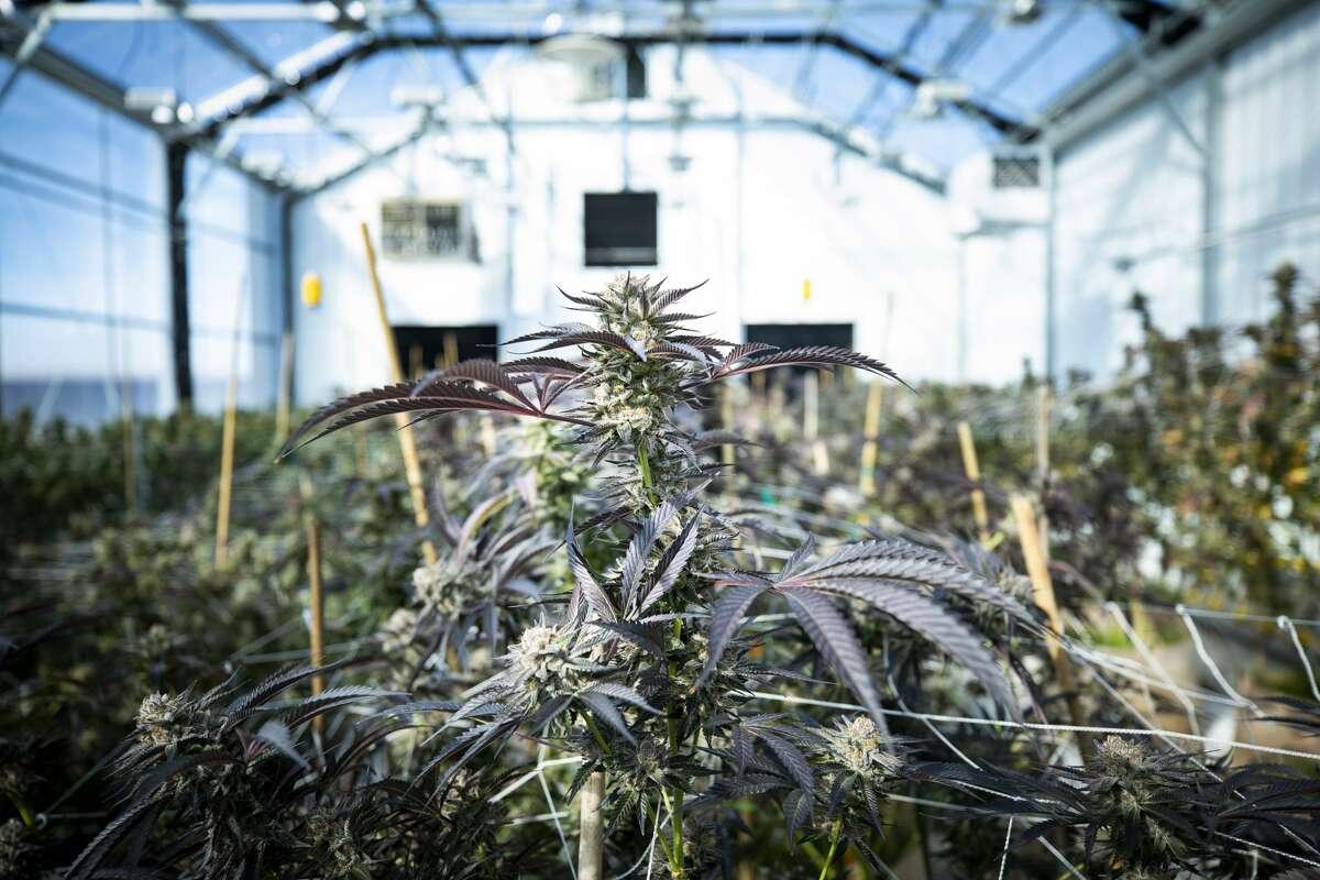 Marijuana plants growing in an indoor green house.