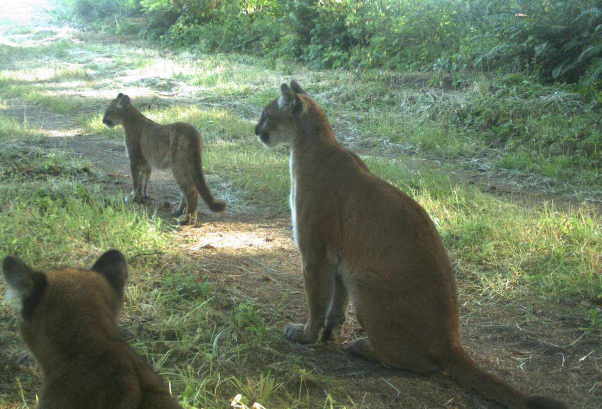 FILE - A family of mountain lions captured by one of the Bay Area Puma Project's trail cameras. Zara McDonald said the smaller cub in the photo is roughly the same size as the mountain lion that was seen in the city.